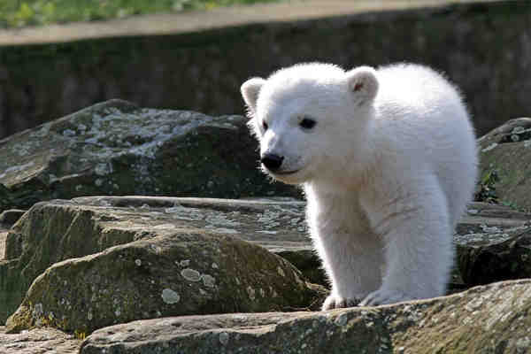 famous german zoo animals knut